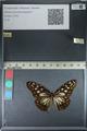 http://mczbase.mcz.harvard.edu/specimen_images/ent-lepidoptera/images/2012_06_25/IMG_122808.JPG