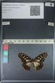 http://mczbase.mcz.harvard.edu/specimen_images/ent-lepidoptera/images/2012_06_25/IMG_122810.JPG