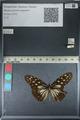 http://mczbase.mcz.harvard.edu/specimen_images/ent-lepidoptera/images/2012_06_25/IMG_122813.JPG