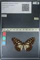 http://mczbase.mcz.harvard.edu/specimen_images/ent-lepidoptera/images/2012_06_25/IMG_122816.JPG