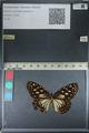 http://mczbase.mcz.harvard.edu/specimen_images/ent-lepidoptera/images/2012_06_25/IMG_122818.JPG