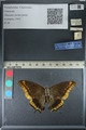 http://mczbase.mcz.harvard.edu/specimen_images/ent-lepidoptera/images/2012_06_25/IMG_122927.JPG