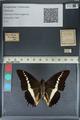 http://mczbase.mcz.harvard.edu/specimen_images/ent-lepidoptera/images/2012_06_25/IMG_122963.JPG
