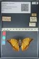 http://mczbase.mcz.harvard.edu/specimen_images/ent-lepidoptera/images/2012_06_25/IMG_122968.JPG