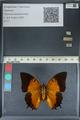 http://mczbase.mcz.harvard.edu/specimen_images/ent-lepidoptera/images/2012_06_25/IMG_123004.JPG