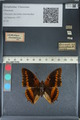 http://mczbase.mcz.harvard.edu/specimen_images/ent-lepidoptera/images/2012_06_25/IMG_123015.JPG