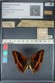 http://mczbase.mcz.harvard.edu/specimen_images/ent-lepidoptera/images/2012_06_25/IMG_123017.JPG