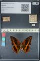 http://mczbase.mcz.harvard.edu/specimen_images/ent-lepidoptera/images/2012_06_25/IMG_123047.JPG