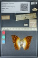 http://mczbase.mcz.harvard.edu/specimen_images/ent-lepidoptera/images/2012_06_28/IMG_123112.JPG