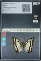http://mczbase.mcz.harvard.edu/specimen_images/ent-lepidoptera/images/2012_06_28/IMG_123135.JPG