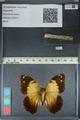 Media of type image, MCZ:Ent:169885 Identified as Blepolenis batea.