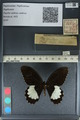 http://mczbase.mcz.harvard.edu/specimen_images/ent-lepidoptera/images/2012_08_18/IMG_126722.JPG
