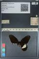 http://mczbase.mcz.harvard.edu/specimen_images/ent-lepidoptera/images/2012_08_25/IMG_127262.JPG