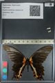 http://mczbase.mcz.harvard.edu/specimen_images/ent-lepidoptera/images/2012_08_29/IMG_127435.JPG