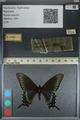 http://mczbase.mcz.harvard.edu/specimen_images/ent-lepidoptera/images/2012_09_06/IMG_127826.JPG