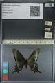 http://mczbase.mcz.harvard.edu/specimen_images/ent-lepidoptera/images/2012_09_06/IMG_127835.JPG
