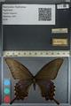 http://mczbase.mcz.harvard.edu/specimen_images/ent-lepidoptera/images/2012_09_06/IMG_127836.JPG