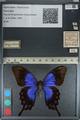 http://mczbase.mcz.harvard.edu/specimen_images/ent-lepidoptera/images/2012_09_08/IMG_128024.JPG