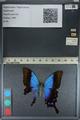 http://mczbase.mcz.harvard.edu/specimen_images/ent-lepidoptera/images/2012_09_08/IMG_128033.JPG