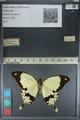 http://mczbase.mcz.harvard.edu/specimen_images/ent-lepidoptera/images/2012_09_08/IMG_128160.JPG