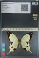 http://mczbase.mcz.harvard.edu/specimen_images/ent-lepidoptera/images/2012_09_08/IMG_128171.JPG