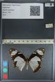 http://mczbase.mcz.harvard.edu/specimen_images/ent-lepidoptera/images/2012_09_08/IMG_128186.JPG