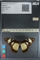 http://mczbase.mcz.harvard.edu/specimen_images/ent-lepidoptera/images/2012_09_08/IMG_128187.JPG