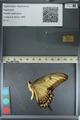 http://mczbase.mcz.harvard.edu/specimen_images/ent-lepidoptera/images/2012_09_14/IMG_128608.JPG