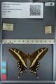 http://mczbase.mcz.harvard.edu/specimen_images/ent-lepidoptera/images/2012_09_15/IMG_128707.JPG