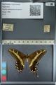http://mczbase.mcz.harvard.edu/specimen_images/ent-lepidoptera/images/2012_09_15/IMG_128710.JPG
