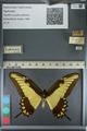 http://mczbase.mcz.harvard.edu/specimen_images/ent-lepidoptera/images/2012_09_15/IMG_128762.JPG