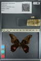 Media of type image, MCZ:Ent:172685 Identified as Papilio anchisiades capys.