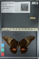 http://mczbase.mcz.harvard.edu/specimen_images/ent-lepidoptera/images/2012_09_16/IMG_129010.JPG