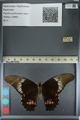 http://mczbase.mcz.harvard.edu/specimen_images/ent-lepidoptera/images/2012_09_16/IMG_129012.JPG