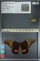 http://mczbase.mcz.harvard.edu/specimen_images/ent-lepidoptera/images/2012_09_16/IMG_129014.JPG