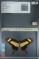 http://mczbase.mcz.harvard.edu/specimen_images/ent-lepidoptera/images/2012_09_17/IMG_129079.JPG