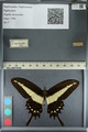 http://mczbase.mcz.harvard.edu/specimen_images/ent-lepidoptera/images/2012_09_18/IMG_129096.JPG