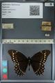 http://mczbase.mcz.harvard.edu/specimen_images/ent-lepidoptera/images/2012_09_19/IMG_129259.JPG