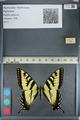 http://mczbase.mcz.harvard.edu/specimen_images/ent-lepidoptera/images/2012_09_28/IMG_130359.JPG