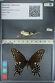 http://mczbase.mcz.harvard.edu/specimen_images/ent-lepidoptera/images/2012_09_28/IMG_130405.JPG