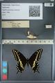 http://mczbase.mcz.harvard.edu/specimen_images/ent-lepidoptera/images/2012_09_28/IMG_130421.JPG