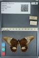 http://mczbase.mcz.harvard.edu/specimen_images/ent-lepidoptera/images/2012_09_28/IMG_130427.JPG