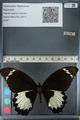 http://mczbase.mcz.harvard.edu/specimen_images/ent-lepidoptera/images/2012_10_26/IMG_133226.JPG