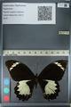 http://mczbase.mcz.harvard.edu/specimen_images/ent-lepidoptera/images/2012_10_26/IMG_133230.JPG