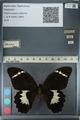 http://mczbase.mcz.harvard.edu/specimen_images/ent-lepidoptera/images/2012_10_26/IMG_133233.JPG