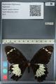 http://mczbase.mcz.harvard.edu/specimen_images/ent-lepidoptera/images/2012_10_26/IMG_133239.JPG