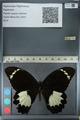 http://mczbase.mcz.harvard.edu/specimen_images/ent-lepidoptera/images/2012_10_26/IMG_133240.JPG