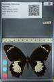 http://mczbase.mcz.harvard.edu/specimen_images/ent-lepidoptera/images/2012_10_26/IMG_133245.JPG
