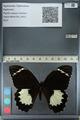 http://mczbase.mcz.harvard.edu/specimen_images/ent-lepidoptera/images/2012_10_26/IMG_133246.JPG