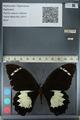 http://mczbase.mcz.harvard.edu/specimen_images/ent-lepidoptera/images/2012_10_26/IMG_133247.JPG
